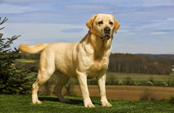 الكلاب... تطلق تحذيراً مسبقاً يسمح  بتجنب النوبة المرضية قبل بدايتها!!