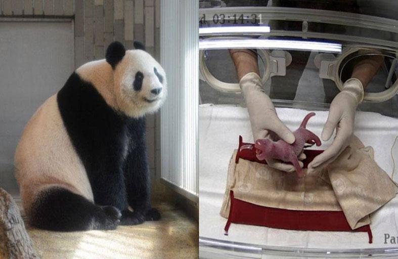 ولادة صغير باندا في حديقة حيوانات سنغافورة