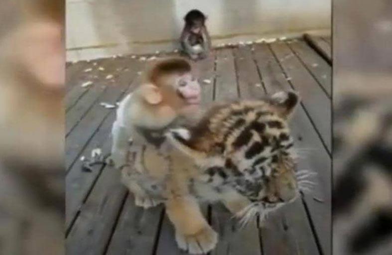 صداقة غريبة بين قرد وشبل نمر