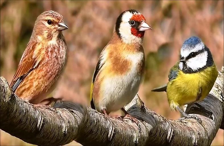 الدوبامين يعلم الطيور أصواتاً جديدة