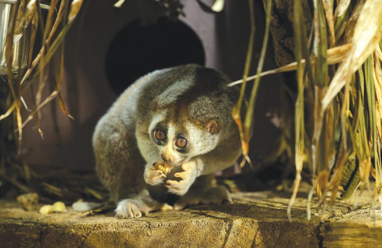 ذا جرين بلانيت تستقبل أول مولود من عائلة حيوانات لوريس البطيء المهددة بالانقراض