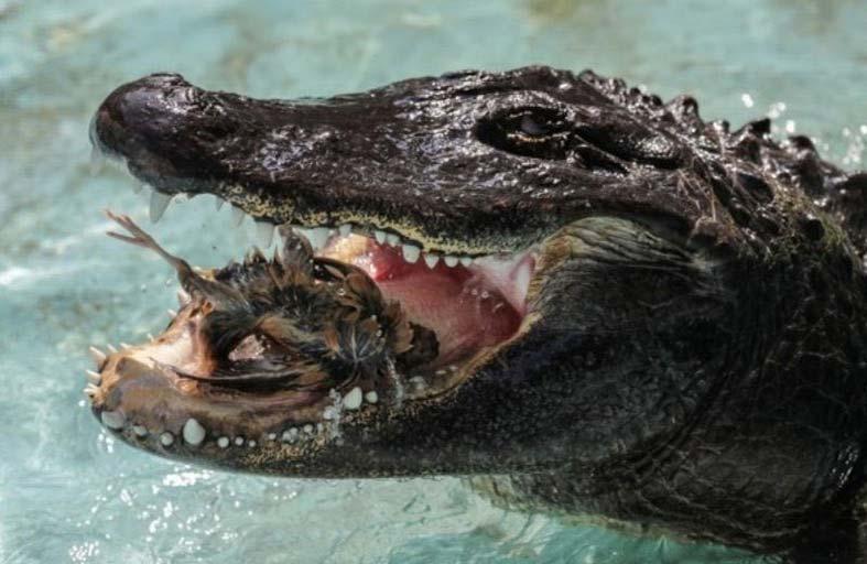 أكبر تمساح في العالم بصحة جيدة