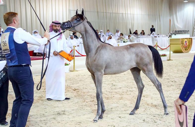 المهرة «ع . ج . كيه» تخطف الأضواء في افتتاح بطولة الإمارات الوطنية لجمال الخيل العربية