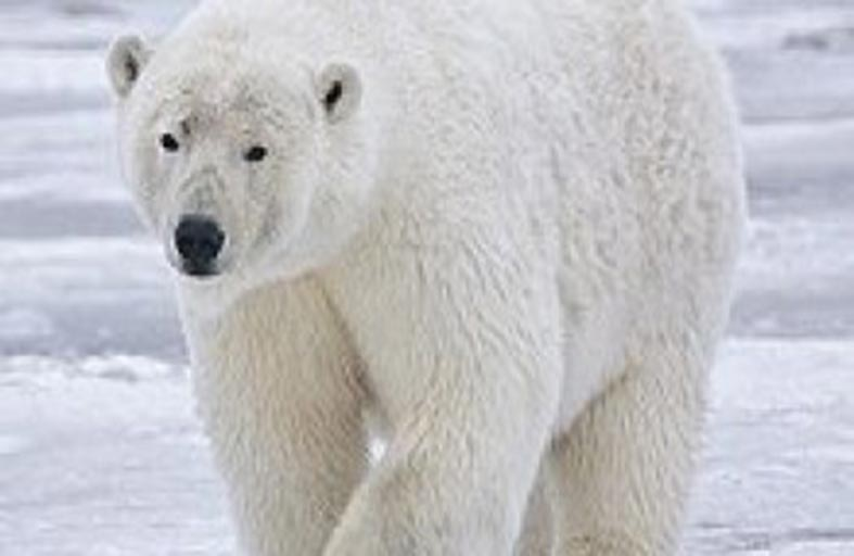 دبة تضيع عن موطنها القطبي