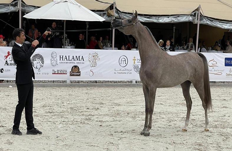 مربط دبي يحرز ذهبية المهرات ضمن بطولة براغ الدولية لجمال الخيل العربية