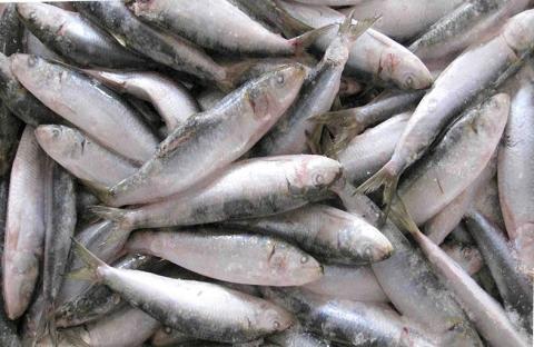 جهاز استشعار يدوي لكشف الغش في السمك