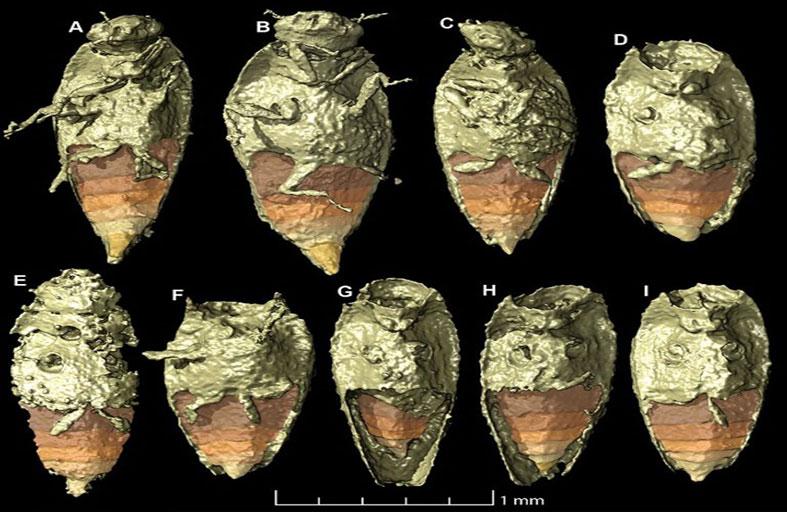 اكتشاف نوع من الخنافس في فضلات ديناصور