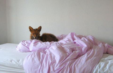 ثعلب في السرير