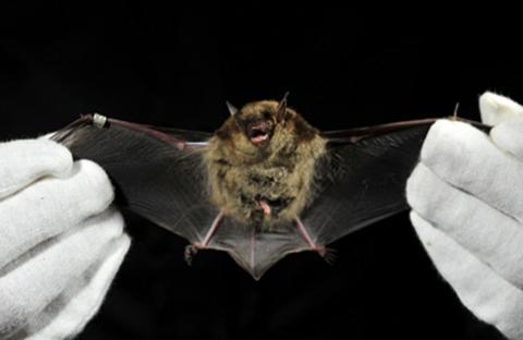 سلوك البشر والخفافيش تتشابه عند الخلافات