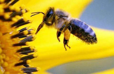 المواد الكيماوية الموجودة في رحيق الأزهار تفيد النحل