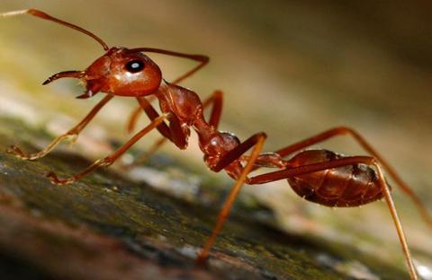 النمل يداوي نفسه بأنوع اطعمة معينة