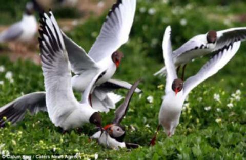 بلطجية طيور النورس تهاجم طائر