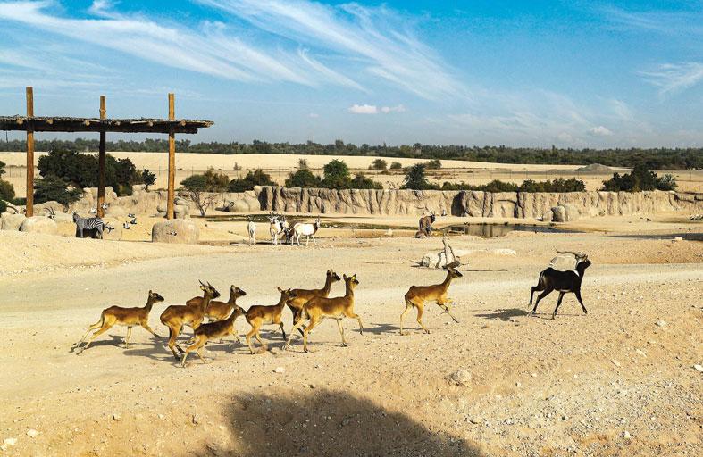 حديقة الحيوانات بالعين تحافظ على ظبي النيل النادر بإكثاره ومنحه بيئات طبيعية