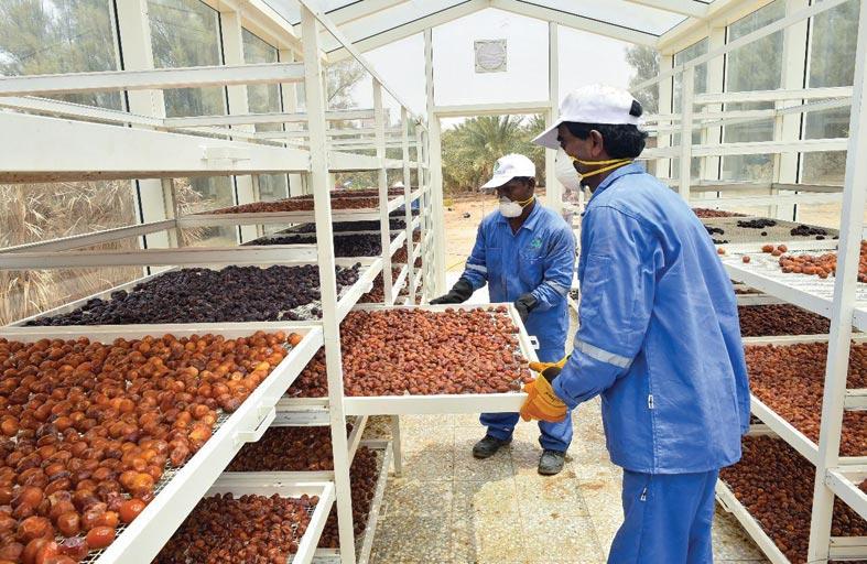 الزراعة والسلامة الغذائية تكثف جهودها لتوعية المزارعين بالممارسات الصحيحة لجني الرطب وتجفيف التمور