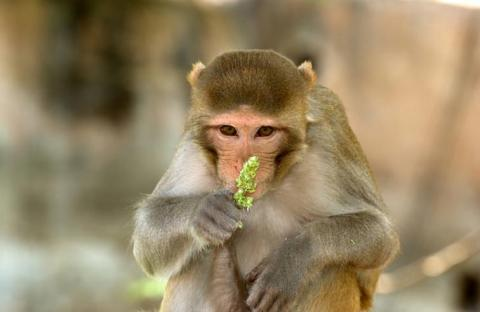 اللون الأحمر يثير اهتمام إناث القردة