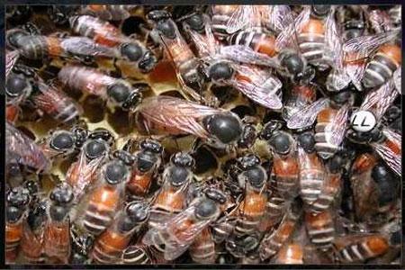 20 ألف نحلة في عليّة منزل