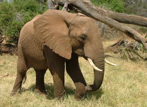 الفيل يفهم الإنسان من إشارة