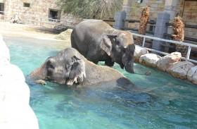 مادو ورادا..  فيلان عملاقان في حديقة الإمارات للحيوانات