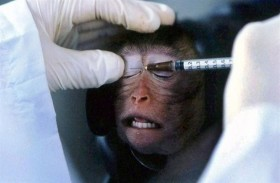 نقل كورونا لـ 2400 قرد لتطوير اللقاح المناسب