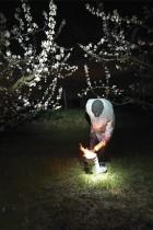 خبير أشجار يقوم بتركيب شمعة كبيرة لحماية الأشجار من الصقيع في بستان حيث من المتوقع أن تنخفض درجات الحرارة  إلى ما دون الصفر في ويستهوفن، شرق فرنسا . ا ف ب