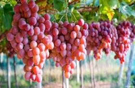 دراسة: تناول العنب يحمي البشرة