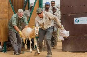 « بيئة أبوظبي » تطلق 54 رأسا من المها الأفريقي في تشاد