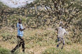 مليارات من الجراد تجتاح كينيا