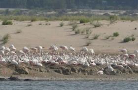 طيور الفلامنجو تعود لمحمية الوثبة للأراضي الرطبة