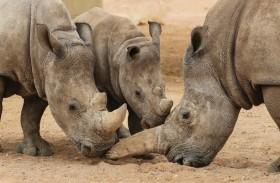 حديقة الحيوانات بالعين تحافظ على وحيد القرن