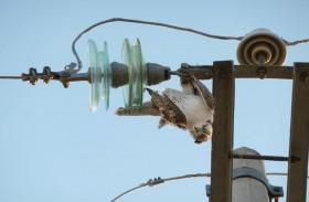 صندوق محمد بن زايد للمحافظة على الطيور الجارحة يستعرض مخاطر الصعق الكهربائي على حياة الصقور والطيور الأخرى