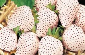فراولة بيضاء سعرها يضاهي الذهب