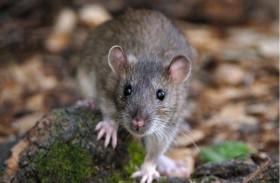لماذا لا تستطيع المدن التخلص من الفئران؟