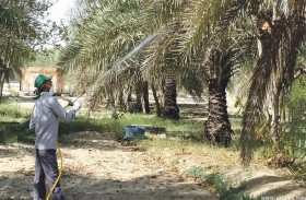 بلدية مدينة العين تكافح آفات ما يقارب من 4 آلاف نخلة في القطاع الشرقي