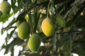 يطور شجرة تنتج 300 نوعا مختلفا من المانغو