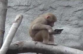 قرد يسرق هاتفا ليلتقط به صورة «سيلفي»
