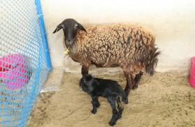 «الزراعة والسلامة الغذائية» تدعو مربي الثروة الحيوانية لاتباع أفضل الممارسات في إدارة موسم الولادات