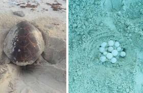 محمية صير بونعير تسجل تعشيشاً مبكراً لسلاحف منقار الصقر
