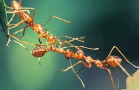 كيف يقوم النمل ببناء جسور حية؟