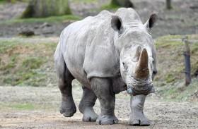 جنوب أفريقيا تتحرك لحماية وحيد القرن