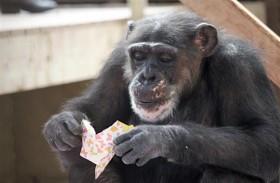 شمبانزي تحتفل بعيد ميلادها