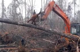 إنسان الغاب يصارع جرافة دفاعا عن بيته