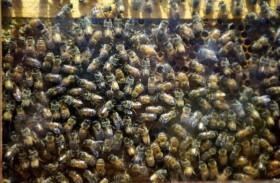 تصارع الموت بعدما هاجمتها 80 ألف نحلة