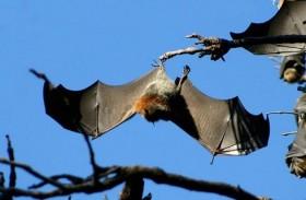 عضة خفاش تعرقل خطط مرشحة رئاسية