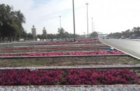 بلدية مدينة أبوظبي تزين الجزيرة الوسطية لجسر المقطع بالزهور والتجميل الطبيعي