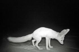 كاميرات «بيئة أبوظبي» تعيد اكتشاف حيوان النيص وثعلب روبل