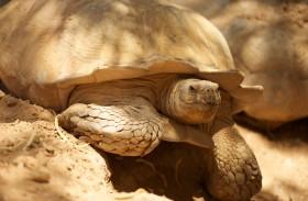حديقة الحيوانات بالعين تحتفل باليوم العالمي للسلحفاة