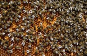 النوم مع النحل... لعلاج الأمراض