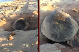 63 عشاً لسلاحف منقار الصقر النادرة في محمية جزيرة صير بونعير