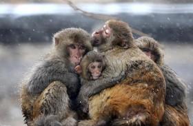 القرود تؤرق الحكومة الهندية