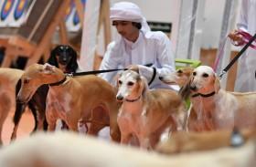 معرض أبوظبي للصيد يحتفي بالسلوقي الذي رافق العرب منذ القدم